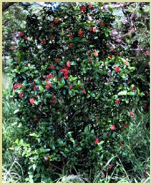 Wild Pomegranate Shrub - sunbird delight